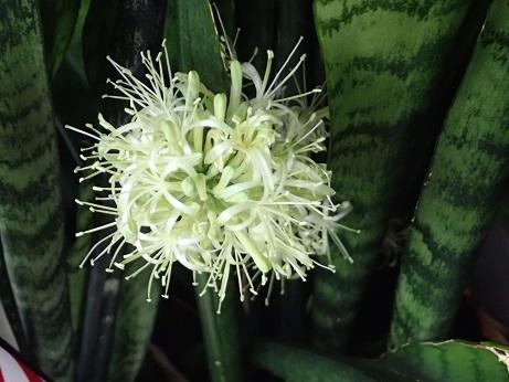 Snake Plant Bloom